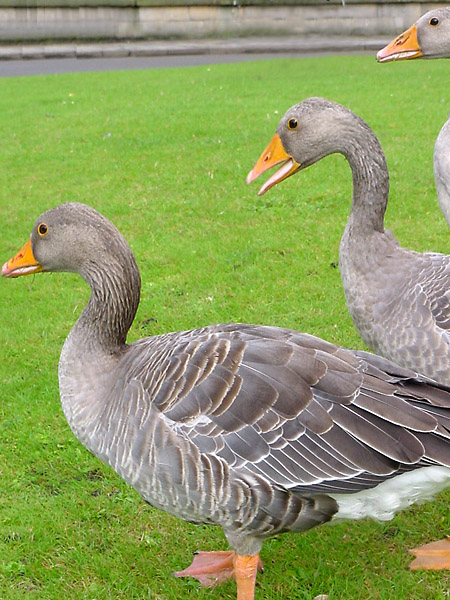 Gray Geese in York