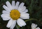Wet Marguerite